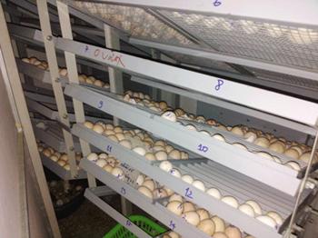 Máy ấp trứng 3000 trứng